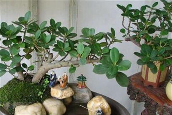 榕树果的功效与作用 榕树果子有毒吗