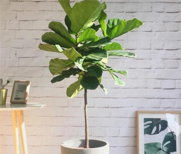琴叶榕叶子扦插过程图 琴叶榕的养殖方法和注意事项