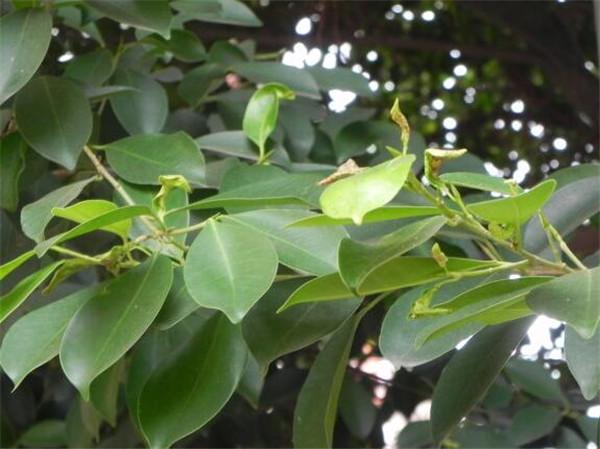 小叶榕树的养殖方法和注意事项 小叶榕树和榕树区别
