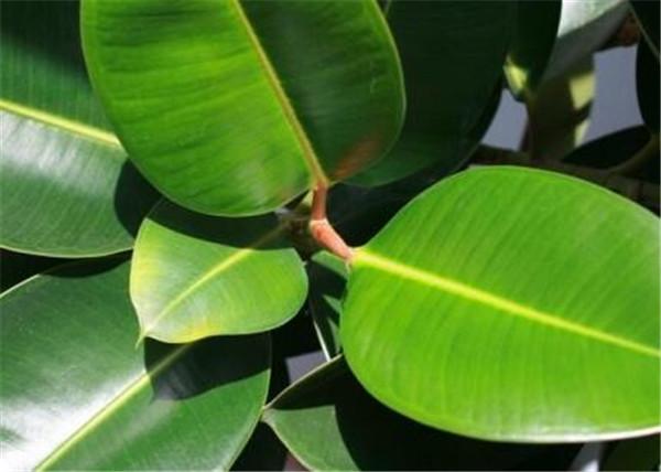 印度榕和橡皮树区别 印度榕树可以在家养吗