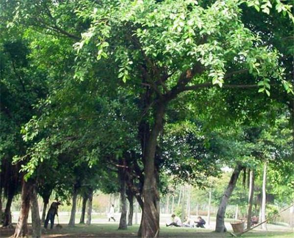 细叶榕是无花而结果吗 家里为什么不能养榕树