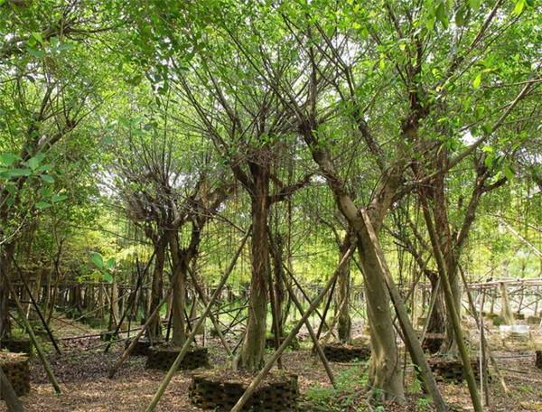 细叶榕和小叶榕的区别 细叶榕树的功效与作用