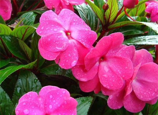 凤仙花的种植方法 凤仙花种子如何传播