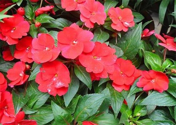 凤仙花种子几天才能发芽 凤仙花的栽培方法