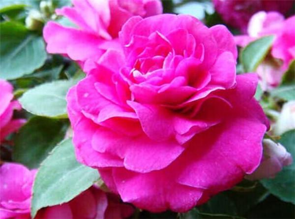 茶花凤仙种子几粒一盆 茶花凤仙什么时候开花