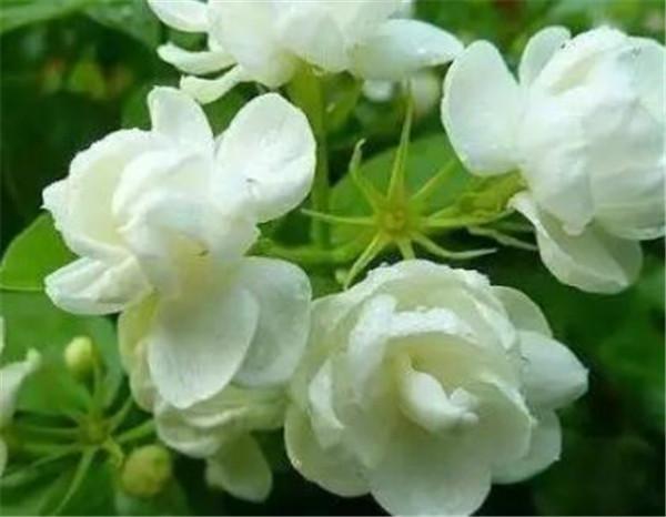 茉莉花花期是几月份 茉莉花是热性还是凉性