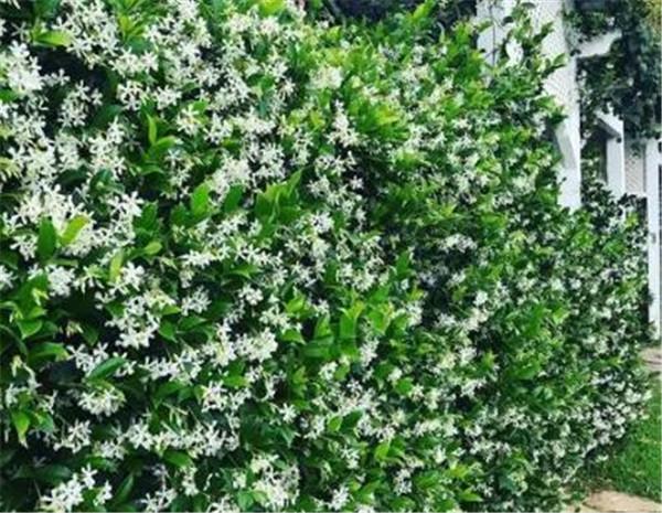 风车茉莉的养殖方法和注意事项 风车茉莉一年开几次花