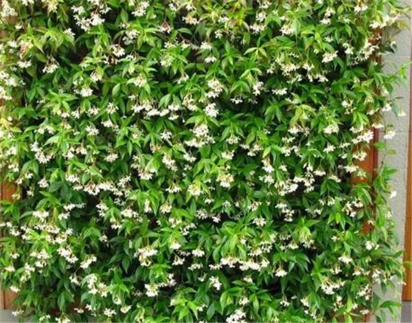 风车茉莉耐寒多少度 东北室外耐寒零下30度的花卉