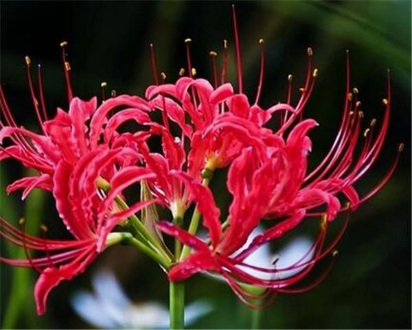 曼珠沙华有毒吗 世界上第一毒花是什么