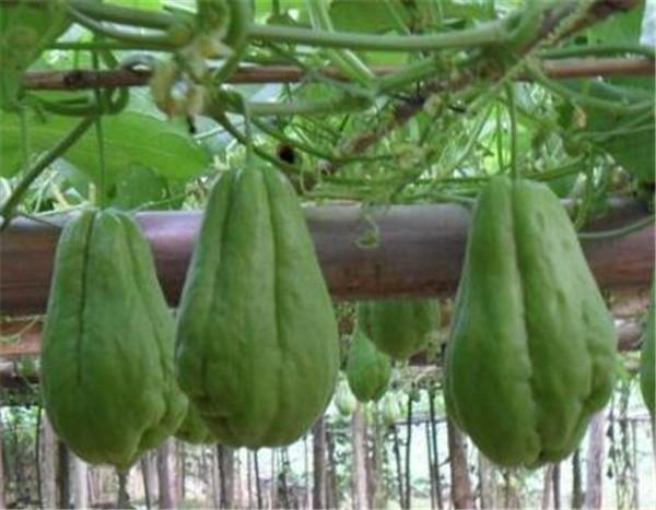 佛手瓜的功效与作用 佛手瓜怎么吃