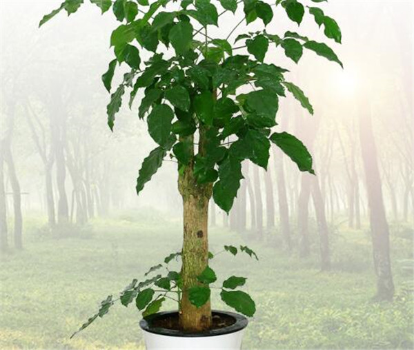 幸福树的养殖方法和注意事项 幸福树多久浇一次水