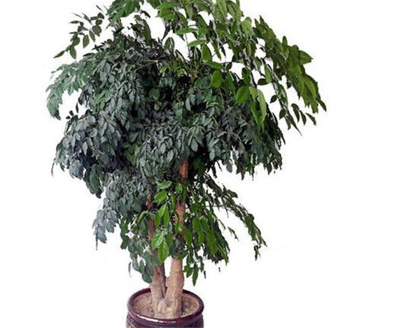 幸福树怎么养 幸福树叶子一碰就掉怎么办