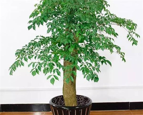 幸福树掉叶子怎么挽救 幸福树的养护要点