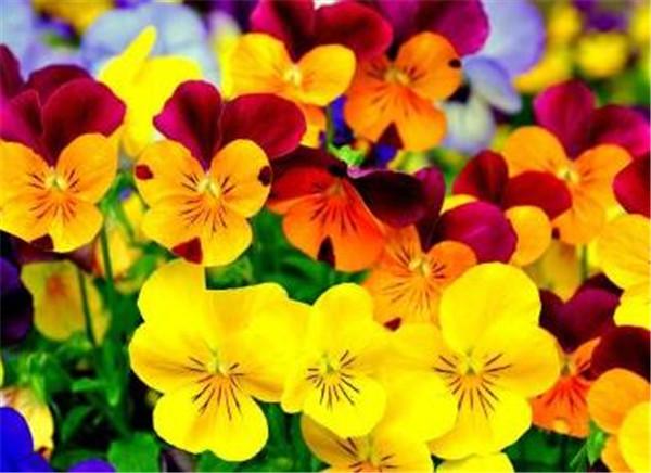 三色堇的花语寓意 三色堇的种植和注意事项