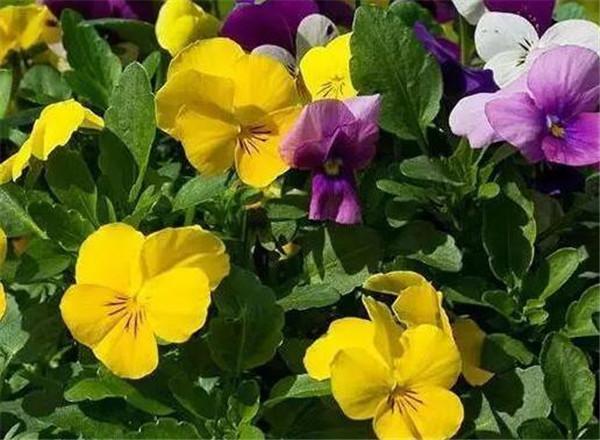 三色堇什么时候播种 花语为希望救赎的花