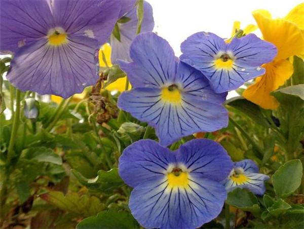 大花三色堇和三色堇区别 大花三色堇主要用什么繁殖
