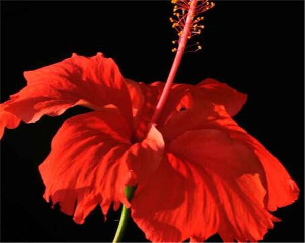 扶桑花怎么养 扶桑花有毒吗