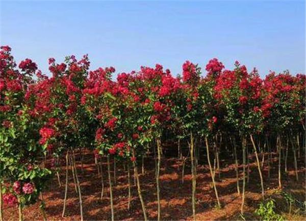 紫薇树图片价格多少钱一颗 紫薇树苗什么季节种合适
