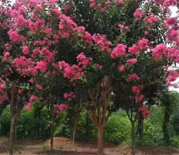 紫薇花几月份开放 紫薇花的花语和寓意