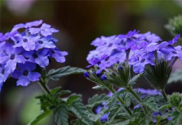 美女樱要打顶吗 夏季耐热草花品种