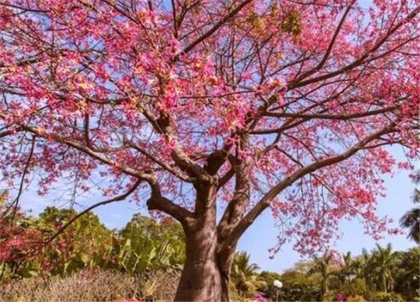 美丽异木棉生长速度 异木棉适合在庭院种植吗