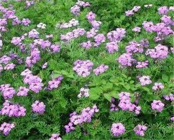 美女樱是宿根花卉吗 美女樱的繁殖方法