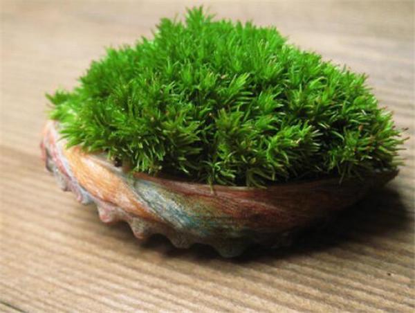 苔藓植物长不高是因为什么 苔藓怎么养