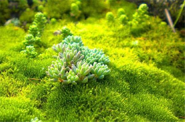 在家自己怎么养苔藓 种植苔藓需要注意什么