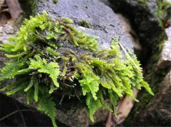苔藓植物生殖方式 家中自制青苔的技巧
