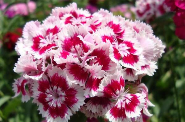 石竹花花语花期和图片 石竹花种子怎么播种