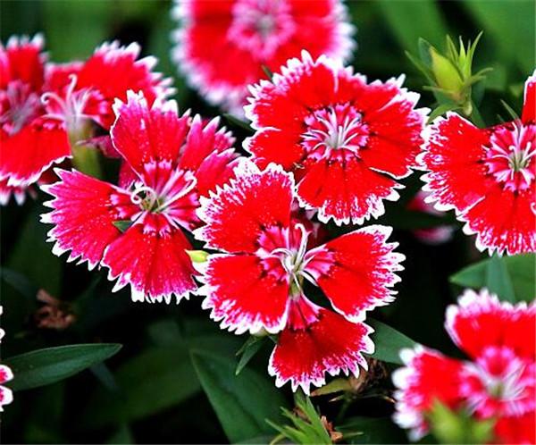 石竹花可以露天过冬吗 10种庭院最佳的花卉选择