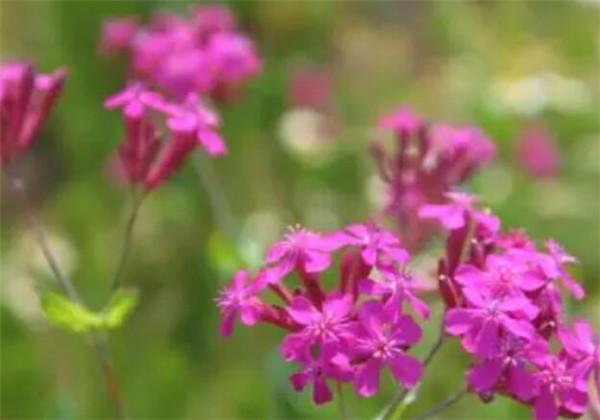 石竹科植物有哪些特征 石竹科石头花属有哪些花