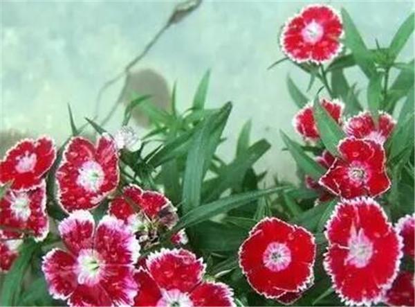 石竹梅的养殖方法和注意事项 石竹梅的花语和寓意