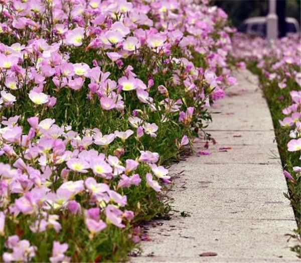 美丽月见草什么时候开花 月见草是晚上开花吗