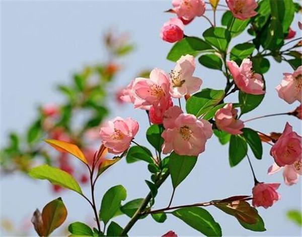 海棠花的养殖方法 海棠花什么时候开图片