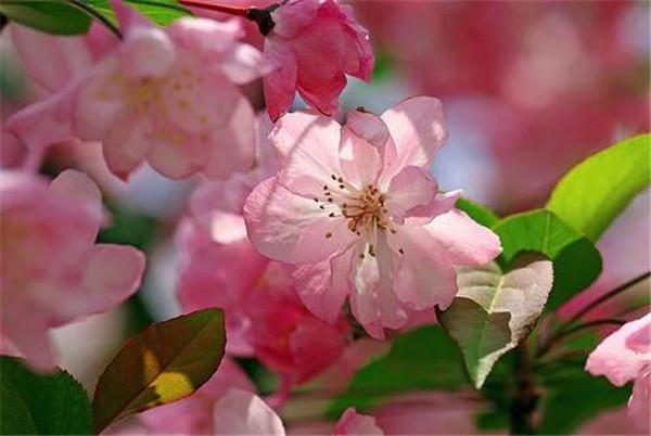 海棠花的种类有哪些 海棠花花语寓意象征