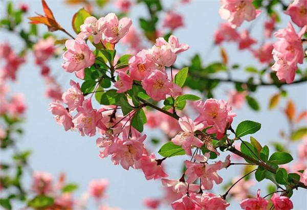 海棠花的种植 海棠花和樱花的区别