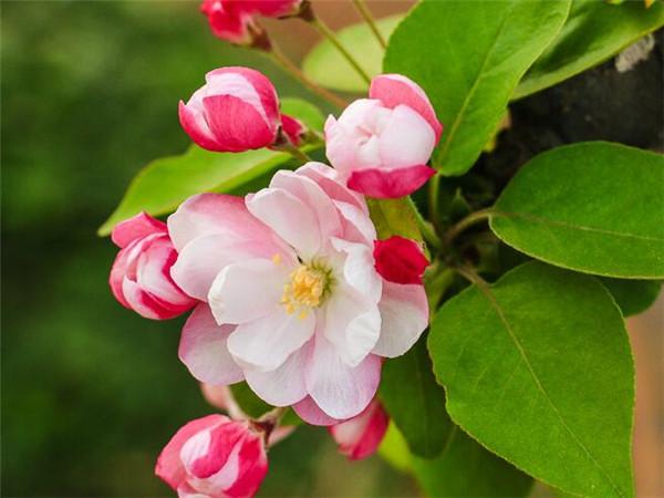 海棠花叶子焦边干枯怎么办 排名第一最好的镇宅树