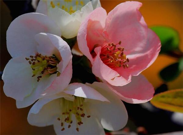 海棠花怎么扦插 海棠花泡水里能生根吗