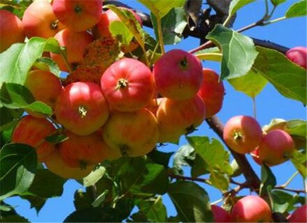 海棠果什么时候熟可以吃吗 海棠果的功效与作用