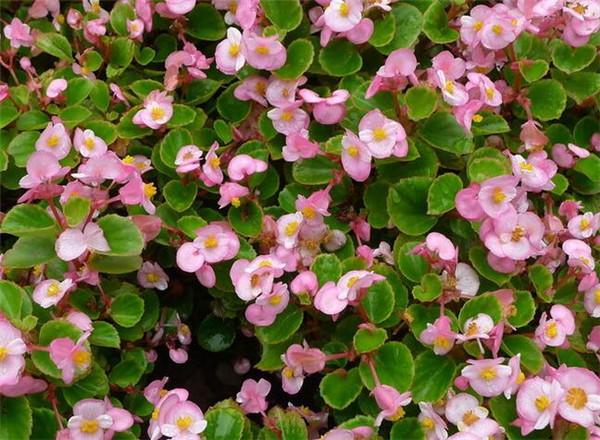秋海棠花的养殖方法和注意事项 秋海棠的扦插方法