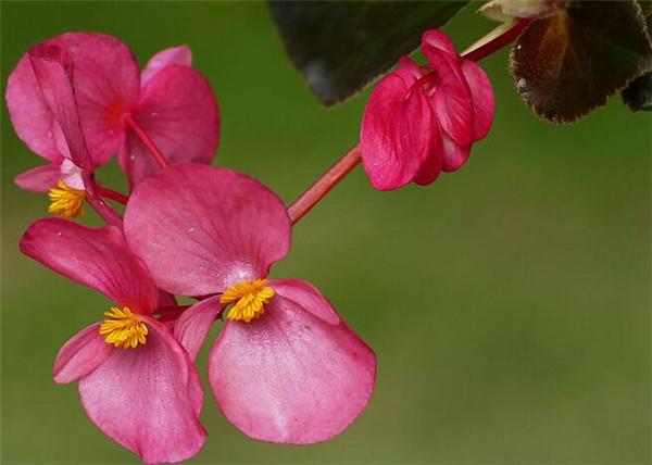 秋海棠什么时候开花 秋海棠花的寓意和象征