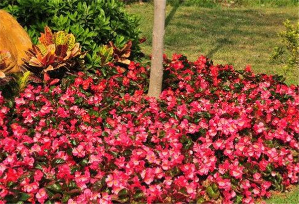 四季秋海棠的种植方法 春节期间开的十种花卉
