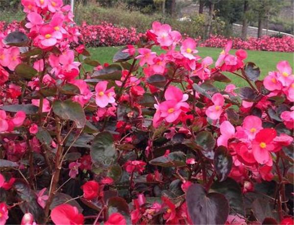 四季海棠怎么爆盆 四季海棠的养殖方法和修剪