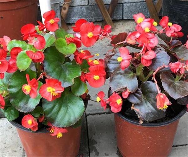四季秋海棠适合室内养吗 阳台四季开花的植物有哪些