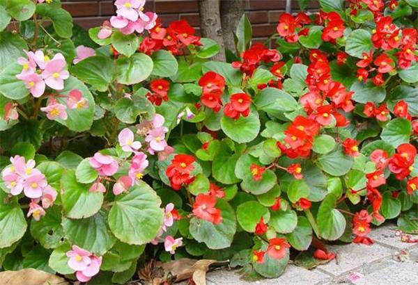 四季海棠冬天会死吗 四季海棠的繁殖方法