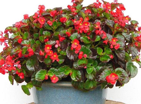 四季秋海棠的功效与作用 家里养四季海棠花好不好