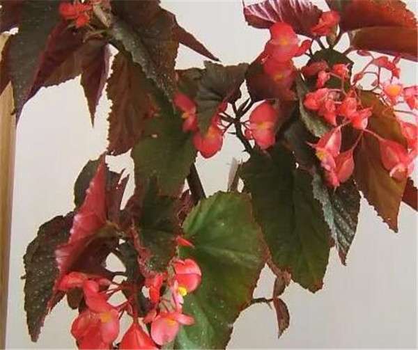 竹节海棠放哪里最旺财 竹节海棠花有几种颜色