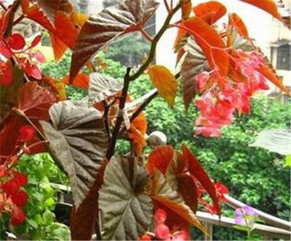 竹节海棠喜欢什么土壤 海棠花哪个品种最为名贵