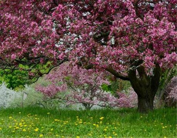 海棠树结果能吃吗 海棠树怎么种植方法